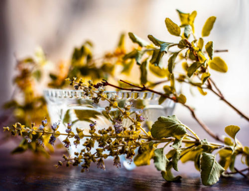 Tulsi (Holy Basil) — Scientifically proven Health and Wellness benefits