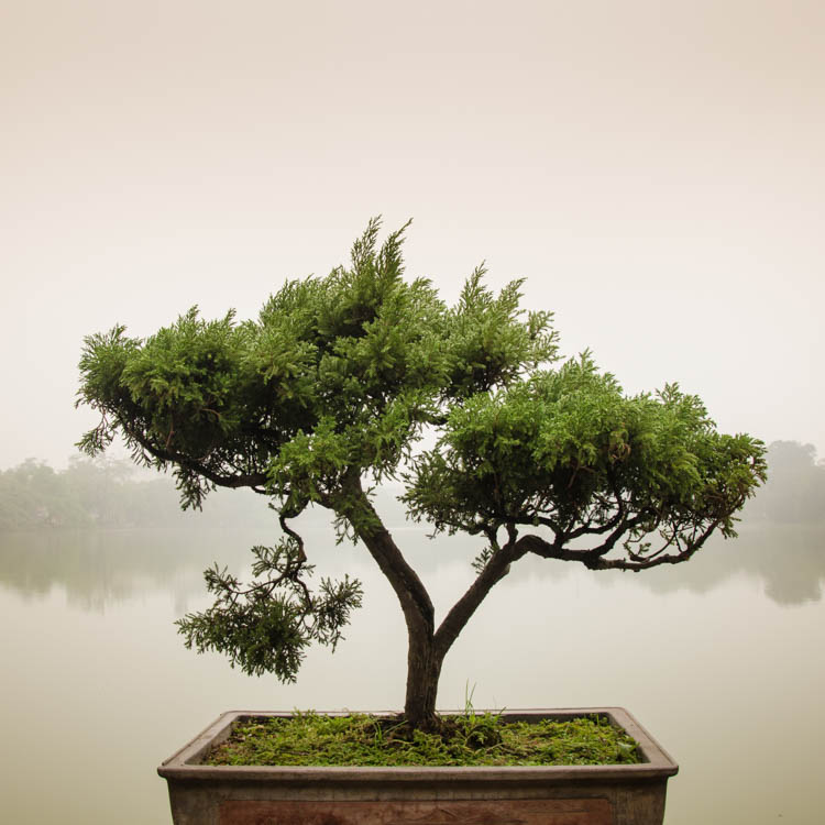 pure bonsai tree